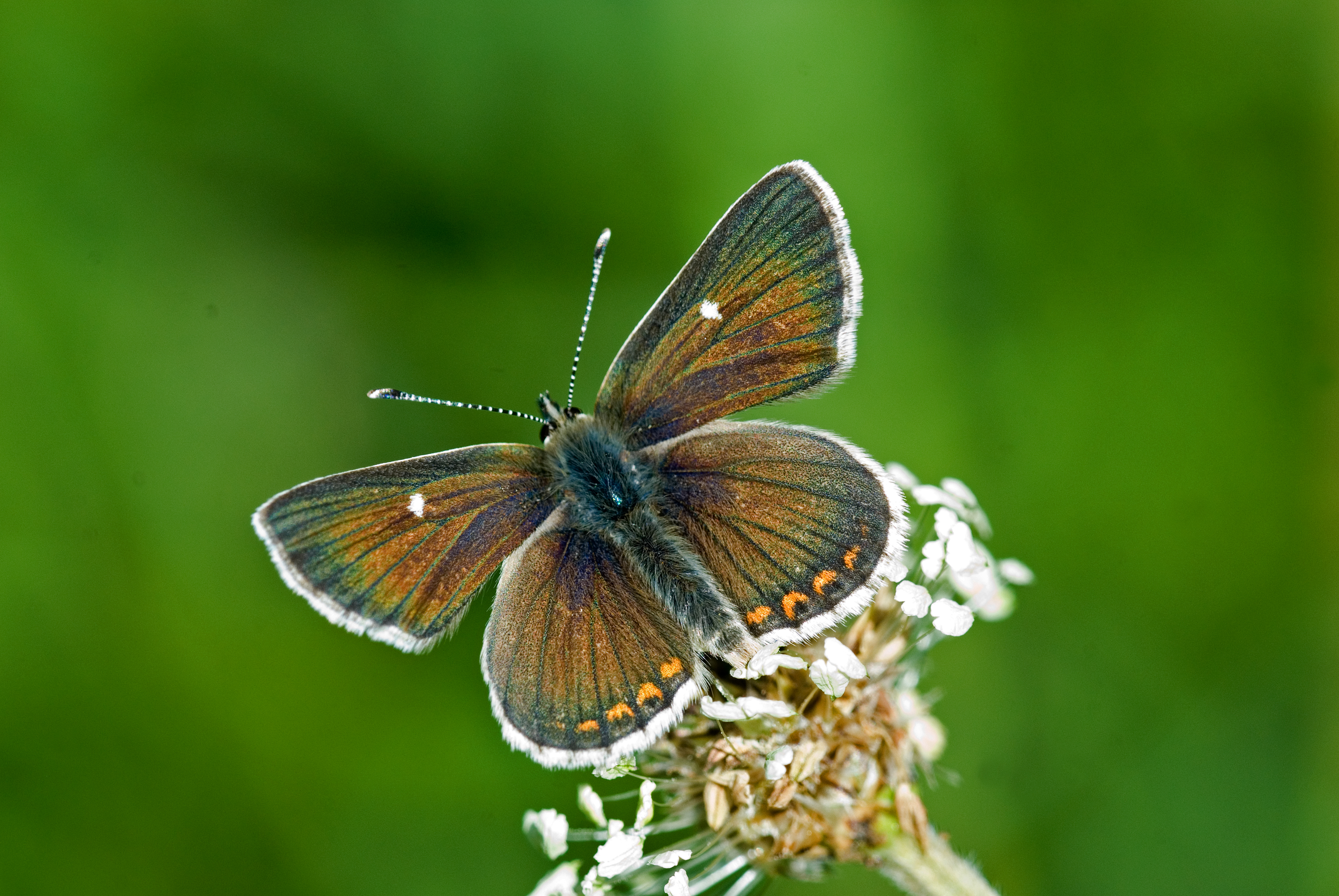 Nothern Brown Argus butterfly