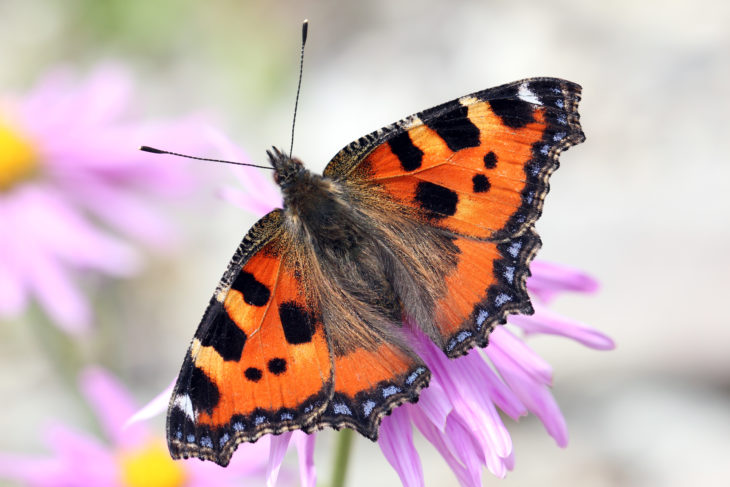 Small Tortoiseshell. Image by Jim Higham