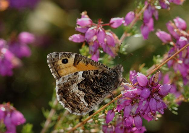 Grayling butterfly © Jim Asher